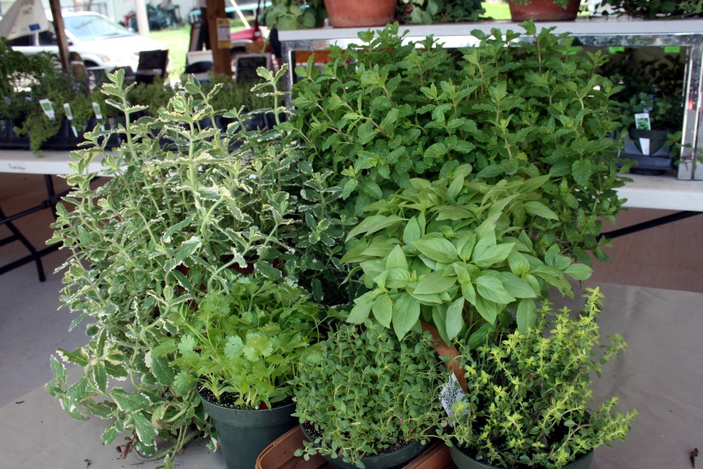 Apple Mint - Tips from Market Lady Carolyn Smith (1/2)
